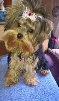 Yorkie with dry nose