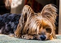 yorkie-feeling-down-odor-question