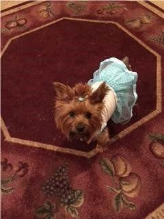 small female Yorkie dog