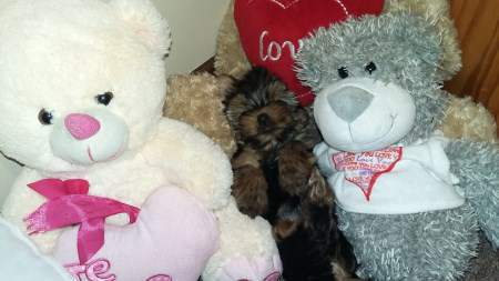 Yorkie hidden in teddy bears