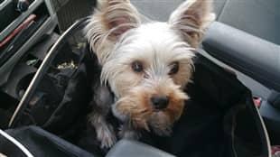 Yorkie In Car Seat