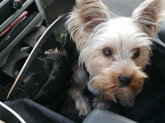 Yorkshire Terrier in a car seat