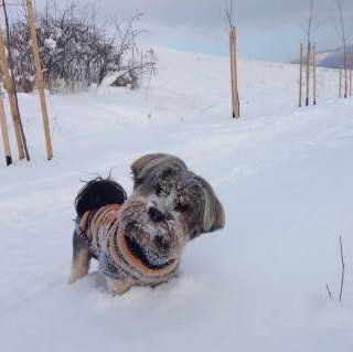 Yorkie in Romania snow