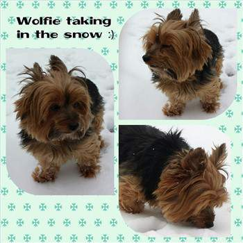 Winter Care For A Yorkshire Terrier