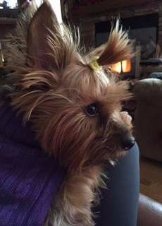Yorkie intelligence