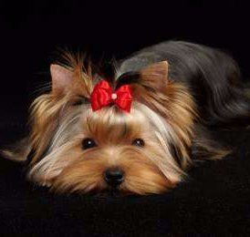 Yorkie laying down