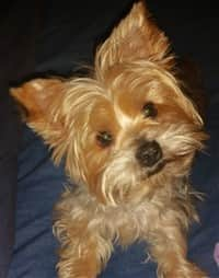 Different Yorkie Haircut Styles Yorkshire Terrier Information