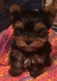 Yorkie puppy named Moose