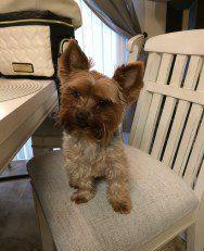 Yorkie on kitchen chair