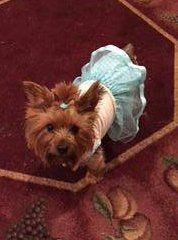 Yorkie on oriental carpet