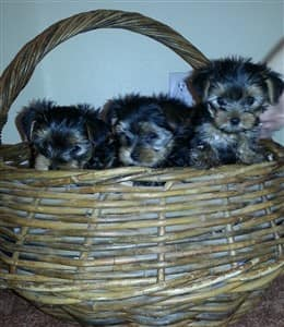 Yorkie puppies in a basket
