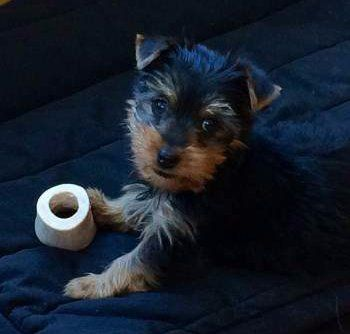 Yorkie Puppy Care Yorkshire Terrier Information Center