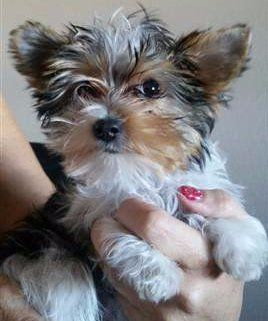 Yorkie puppy, female, white black and tan