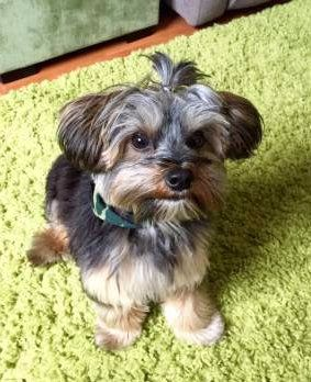 Yorkie puppy on green carpet