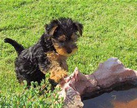 Yorkie puppy outside with rock with water
