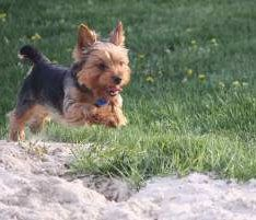 Yorkie Exercise Requirements Yorkshire Terrier Information