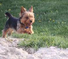 Yorkie running