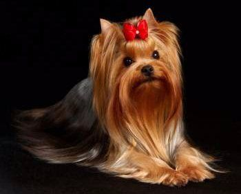 Yorkshire Terrier Dog Shows | Yorkshire Terrier Information