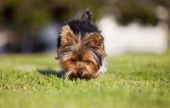 Yorkie House Training Yorkshire Terrier Information