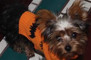 Yorkie in orange sweater