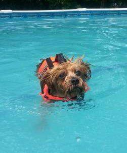 Yorkie dog swimming