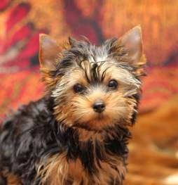 Yorkie with a Teddy Bear hair cut