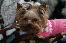 Yorkie in tiny pink sweater