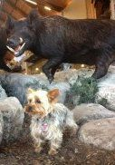 Yorkie with bull statue