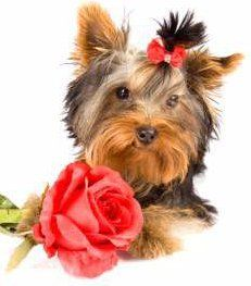 Yorkshire Terrier young puppy with flower