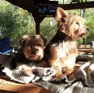 two Yorkies on a camping trip