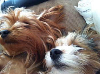 Yorkie Sleep Information Normal Requirement And Habits