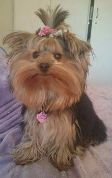 Yorkshire Terrier up on bed