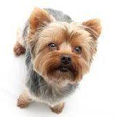 Yorkshire Terrier looking up