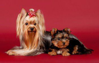 Yorkshire Terrier adult and puppy