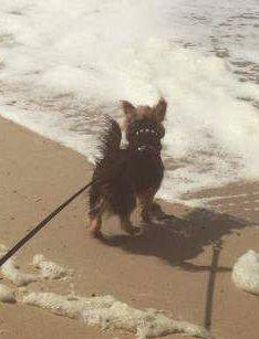 Yorkie dog at beach shoreline