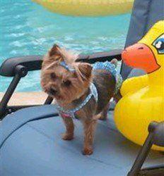 Yorkshire Terrier bathing suit