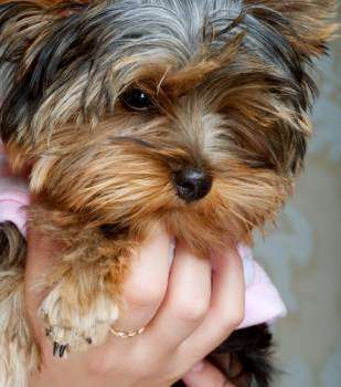 Yorkshire Terrier being held