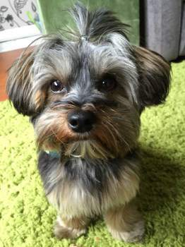 Yorkshire Terrier big black nose