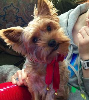 Yorkshire Terrier cool wet nose