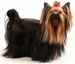 Yorkshire Terrier with docked tail