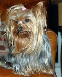 Different Yorkie Haircut Styles