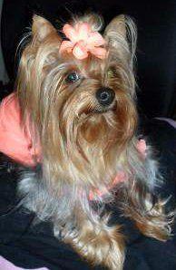 Yorkshire Terrier hair bow