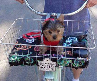Yorkshire Terrier in bike basket