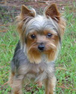 Yorkie Training Tips Top 10 Tips For Training A Yorkshire Terrier