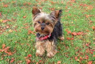 All About Yorkie Food Yorkshire Terrier Information Center