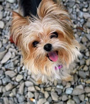 yorkshire-terrier-shiny-coat