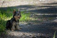 yorkshire-terrier-sitting-back-waiting