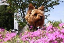 yorkie-on-grass-with-owner-