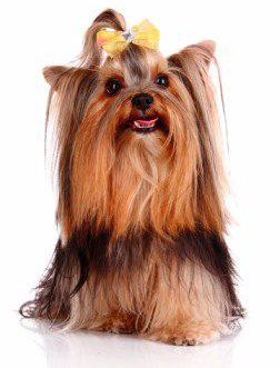 Yorkie Biting Issues Yorkshire Terrier Information Center