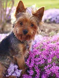 Yorkshire Terrier spring time